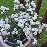 Achillea ptarmica Flor