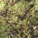 Boscia angustifolia 花