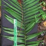 Chamaedorea brachyclada