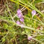 Vicia parviflora