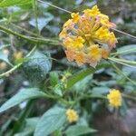 Lantana camara Kwiat