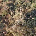 Cenchrus ciliaris Flower