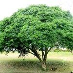 Guaiacum officinale 葉
