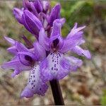 Orchis scopulorum