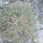 Atractylis polycephala
