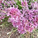 Allium thunbergii