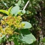 Viburnum lantana Flower