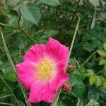 Rosa sherardii