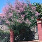 Tamarix ramosissima