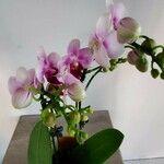 Dendrobium spp.
