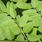 Myrospermum frutescens