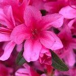 Rhododendron ferrugineum Flor