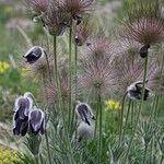 Anemone montana