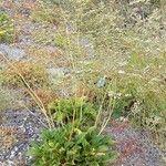 Limonium cossonianum