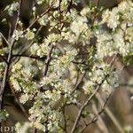 Prunus rivularis