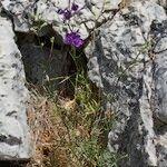 Delphinium pentagynum