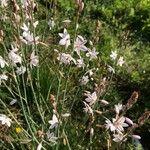 Asphodelus fistulosus Flower