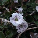 Erodium corsicum