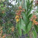 Grewia trichocarpa
