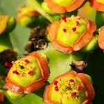Euphorbia neriifolia