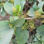Searsia natalensis