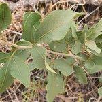Searsia natalensis Lehti