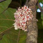 Acropogon moratianus