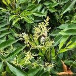 Fraxinus griffithii