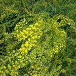 Acacia acinacea