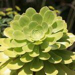 Aeonium vestitum