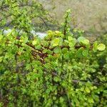 Portulacaria afra Leaf