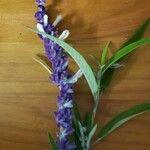 Salvia leucantha Fleur