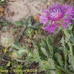Centaurea polyacantha