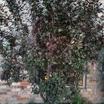 Prunus cerasifera Fruit