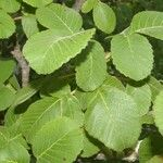 Amphipterygium simplicifolium