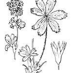 Alchemilla subsericea