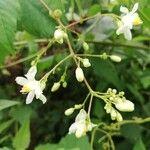 Cardiospermum grandiflorum Flower