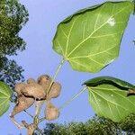 Acropogon veillonii