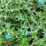 Lithodora prostrata