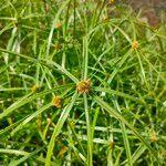 Cyperus aromaticus Leaf