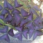Oxalis triangularis Fleur