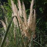 Cortaderia selloana Pflanze