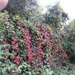 Parthenocissus quinquefolia Leht