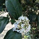 Viburnum tinus Flower