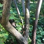 Cotoneaster cooperi