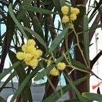 Acacia retinodes Feuille