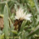 Atractylis arbuscula
