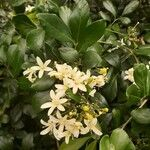 Murraya paniculata