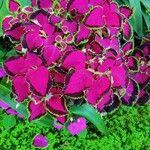 Amaranthus tricolor ഇല