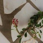 Alysicarpus vaginalis Kukka